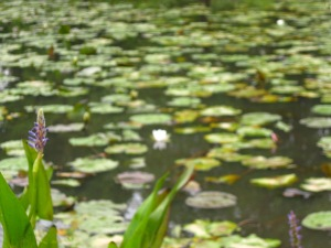 'Impressionist' photo of a lily-pond